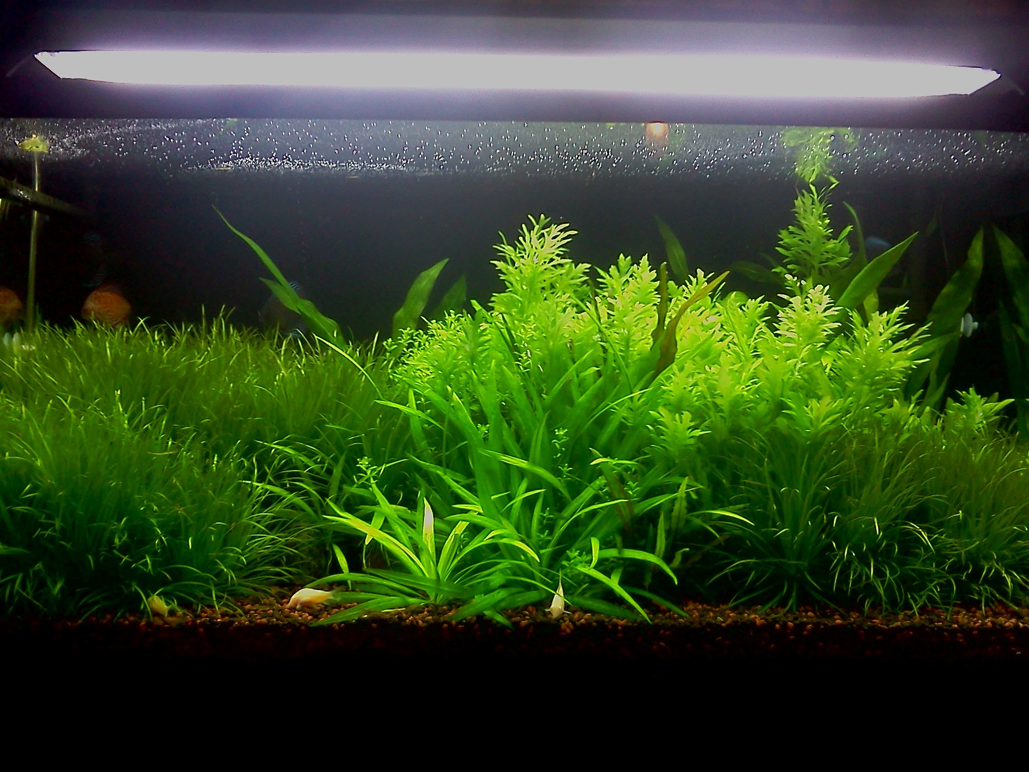 Aquascape Plants For Sale 28 Images Aquascape Plants